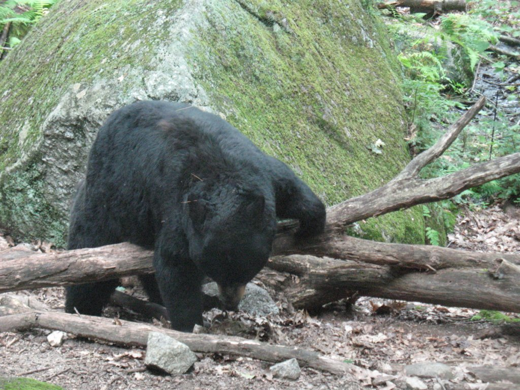 The bear explores its grounds at the Squam Lakes Natural Sciences Cener.